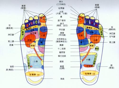 足部的基本结构及名称 每侧足部有26块骨,分为跗骨,跖骨和趾骨3组